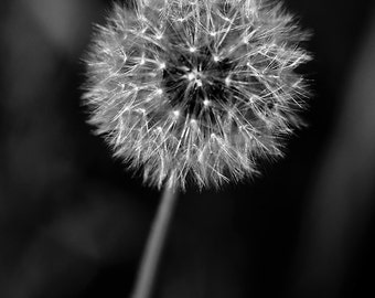 Dandelion Gone to Seed black and white photograph - Digital Download - Wild Flower - Nature Photography