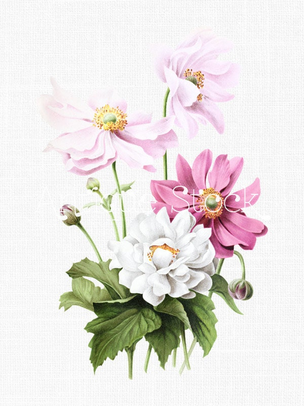 Pink And White Flowers Clipart Japanese Anemones Botanical Illustration Digital Download Image For Invitations Crafts Collages From AntiqueStock On