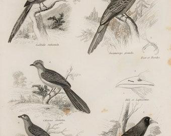 1850s Antique Print, Tropical Birds, Jacamars, Cuckoos. Black and White Engraving