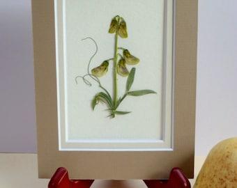 Real Pressed Flower Botanical Herbarium Specimen Art Sweet Pea 3x5