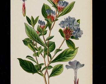 Antique print, 1896 BOTANICAL print, blue flower print chromolithograph of Ceratostigma, leadwort, plumbago