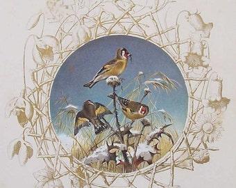 Antique Goldfinch illustration