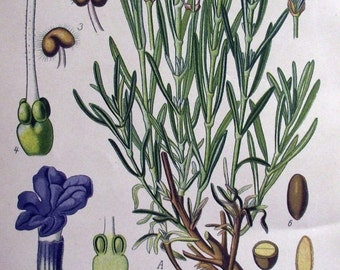 ON SALE 1905 - LAVENDER - Chromolithography by Zeyschwitz. Flower. Botany. Natural History. Over 100 years old.