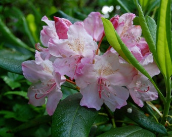 Rhododendron, Flower Essence, Western Rhododendron, Wildflower, Self Compassion, Compassion, Heart Healing, Self Love