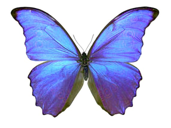 Supplies for your artworks - dried insects - : Set of 10 blue  butterflies morpho didius LARGE , unmounted a1 to aa -quality FREE SHIPPING