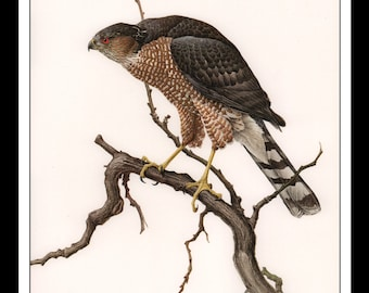 """Vintage Book Print 1968 Birds Of The Eastern Forest : Sharp Shinned Hawk Single Page Wall Art Decor Print 9.5"""" x 13"""""""