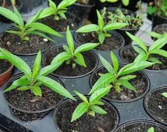 "Noni Tree Plant (Morinda citrifolia)  Live Plant Hawaiian Noni Fruit Tree 6-8"" tall in 4"" Pot - Includes Free USPS Priority 2-3 Day Shipping"