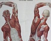 Large Anatomical  Chart - Soviet Vintage School Chart - Wall Map - Human Biology - Human Muscles Poster - Medical Chart