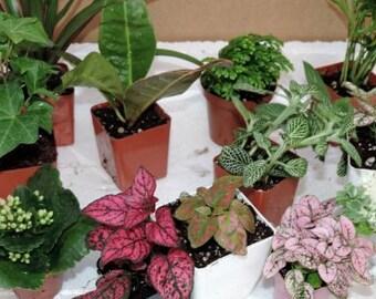 "Terrarium & Fairy Garden Plants - 10 Plants in 2.5"" pots (FREE SHIPPING)"