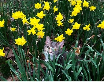Cats and Daffodils Note Cards, set of four cards