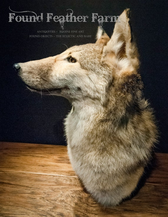 Coyote Head and Shoulders Taxidermy Mount