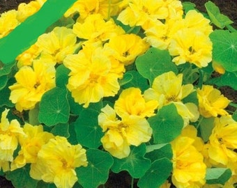 Nasturtium seeds Tropaeolum majus nanum Golden Ball Seeds  from Ukraine #1273