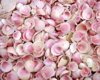 Apple Blossom Shells 4000+ ~ Pink/White ~ Shellcraft Sailor's Valentines rose tellina shells