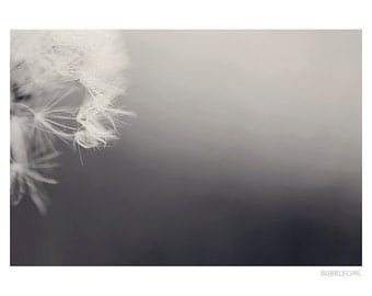 Nature Photography PRINT, Close up of a Black and White Dandelion, Wall Art