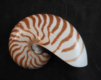 """Whole Chambered Nautilus Shell 2-3"""" (50-75mm) Natural Tiger Stripe Beach Decor Nautical Seashell Collections"""