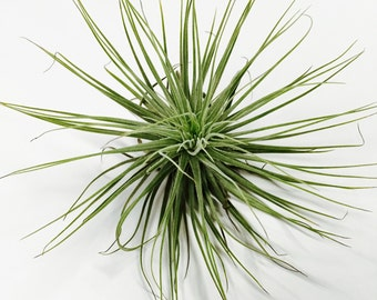 Tillandsia Air Plant Duo - assorted variety