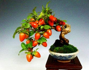 Bonsai Professional Seeds Kit - Diospyros kaki - Includes 10 items