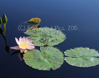 Botanical Photography: Water Lily 2- nature photography, floral, flower, garden, water lily, pink, lily pad, pond