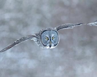 Great Grey Owl in Flight, Owl Print, Snowy Owl,  Bird Picture, Bird Photography, Great Gray Owl, Winter Owl, Great Grey Owl, Cold Owl