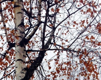 Birch in the Autumn
