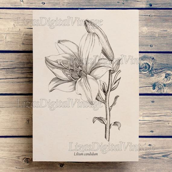Lily print, Floral art, Flower wall art, Floral print, Digital print, Vintage botanical print, Antique art, Vintage floral prints, JPG PNG