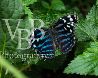 """14x11 """"Mexican Bluewing"""""""