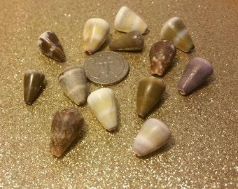 Lot of 13 Hawaiian cone shells