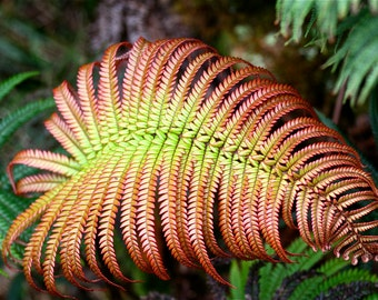 Red Fern Photograph