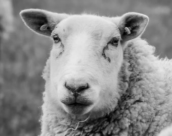 Sheep portrait black and white Print
