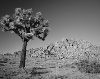Joshua tree in Palm Spring