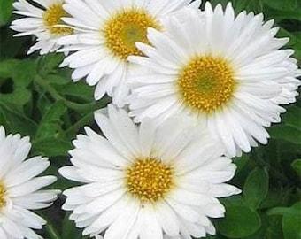 White Aster Flower Seeds/Alpinus/Perennial  40+