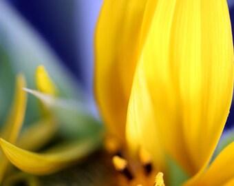 Macro Photo Yellow Sunflower