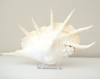 Giant Spider Conch Shell