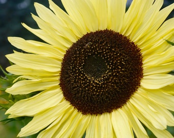 Sunflower2 Photograph