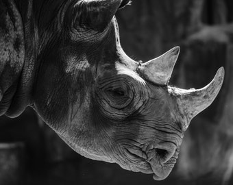 Photography in black and white - rhino