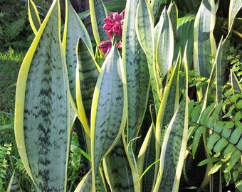 Sansevieria Laurentti, common names: Snake plant, mother-in-law's tongue