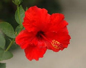 Hibiscus rosa-sinensis 'Brilliant Red' ~ Live Starter Plant