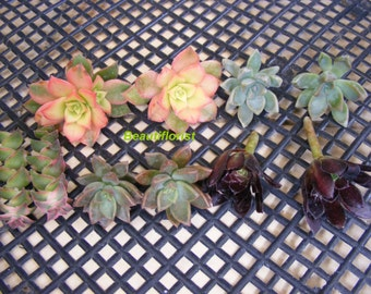 10 Assorted Succulent Cuttings set A