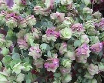 25+ Ornamental Oregano Round-Leaved Origanum Rotundifolia Seeds / Perennial