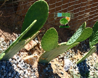 Nopal Cactus (Prickly pear cactus)