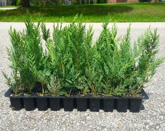 Leyland Cypress Live Plants Evergreen Privacy Trees