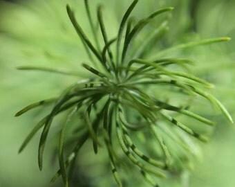 G16 - Pine Needle Tips