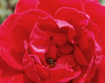R1 - Red Rose Hidden Bee