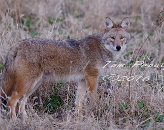 Coyote poses for a photo   #d-2446