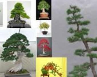 Bonsai Tree Seeds ultimate pack-Conifers/Deciduous/Flowering -100 seeds