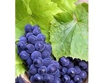 Riverbank Grape 5 Seeds