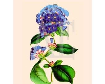 NA-111 Artistic Ephemera 8x10 Nature Print - Antique Botanical Blue Flower Plumbago Larpentae - Also Available as Small Prints or Postcards