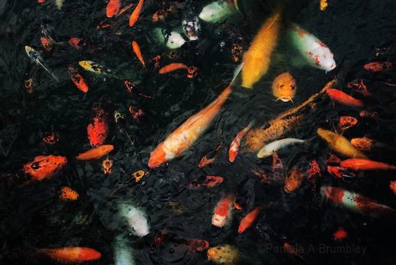 Koi photo goldfish poster ornamental carp fish print pond for Ornamental pond fish inc