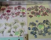 Choose your Real Verbena Flower Clusters Grown, Pressed and Preserved in Alaska 413 FL
