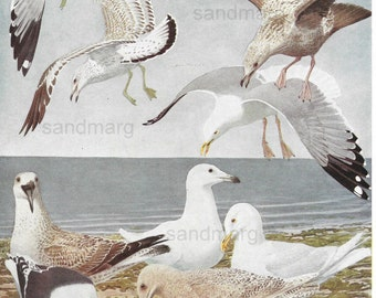 Original Antique Seagulls by the Seashore Print Herring Ring Billed Glaucous Great Black Backed Gulls  Louis Agassiz Fuertes.